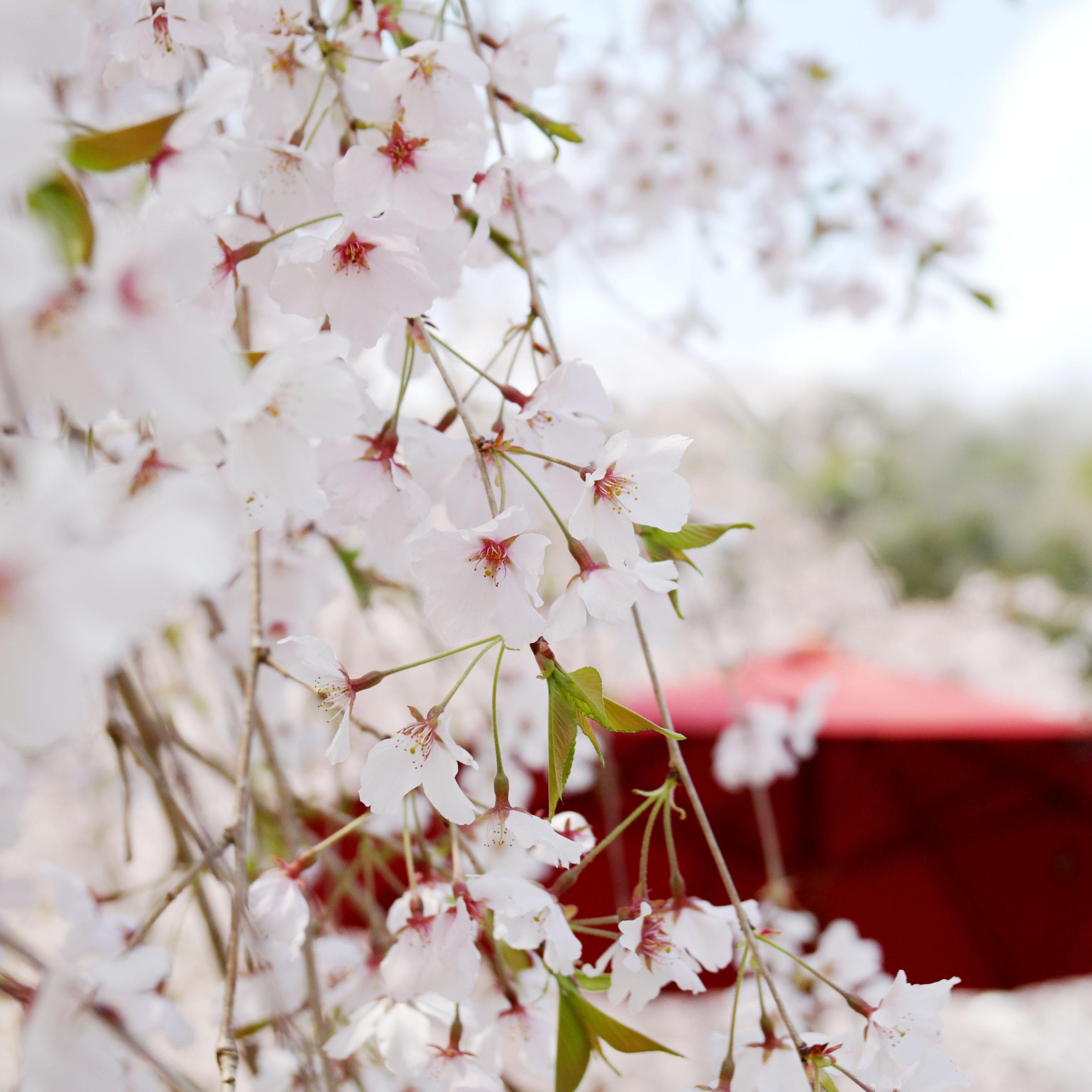 桜のカーテンに癒やされる  PHOTO:みっちーさん